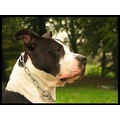 dog dogs nature stafford staffordshire terrier
