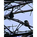 Longtailedtit Long Tailed Tit Coaltit Coal Tit Birds Nature