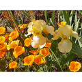 iris irises poppy poppies garden spring light sunlight gardenfph