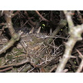 chicks nest blackbirds