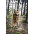 dog pets german shepherd jaro jaroslavas nation picture gsd dogs breed blitz