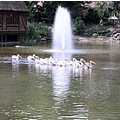 lake fountain pelicans white