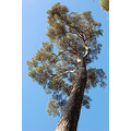 Scots Pine Tree Rosemoor Torrington Devon
