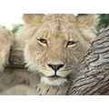WalkingWithLions EndangeredSpecies SubAdult Male Lion Zimbabwe