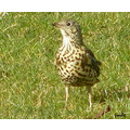 bird mistle thrush