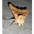 moths insects