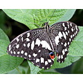 butterfly black white leaves green