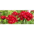 flower flowers nature red