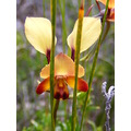 donkey orchid flower grass tree plants nature