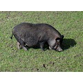 netherlands weesp animal pig nethx weesx animx