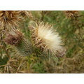 thistle purple weesue plant soft furry
