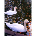 2008 funchal swan lake madeira portugal white flowers orange reflection water