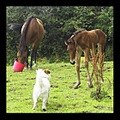 animal horse foal colt newborn dog terrier jackrussel