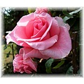 Blessings Rose