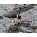 Oystercatcher Rock Sea Bird