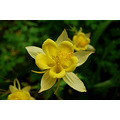 aquilegia docton mill devon