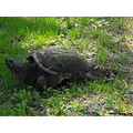 snapping turtle reptile large big presquile walking grass land
