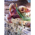 red banded greenhood orchid flowers plant nature