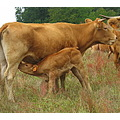 mother child calf cow drinking limousin france