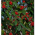 roundfriday berries nature red green sesonal winter