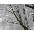snow frost trees tree winter jeever jolie holland