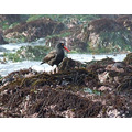 Black Oystercatchers from December 30 2006