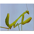 nature praying mantis