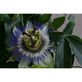 passionfruit flower nature