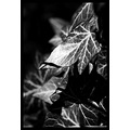 nature ivy leaf abstract black white bw