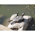 lake water turtle rock pair sunning