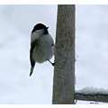 tit birds winter snow