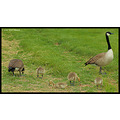 stlouis missouri us usa animal bird goose baby canadian 2007