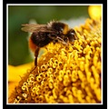 bee bumblebee insect nature macro yellow sunflower somersetdreams
