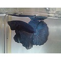 betta splendens halfmoon fish aquarium