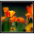 orange tulip flower nature light women day somerset somersetdreams