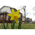 daffodil flower new rant