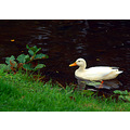 bakewell bird duck