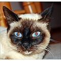saphira blue eyes cat with blue eyes old blue eyes