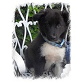 Puppy Border collie cross