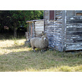 midworlder greytown sheep