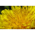 dandelion flower sunset macro