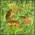 great spangled fritillary butterflyweed