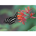 Zebra Longwing butterfly flower zoo Tampa Florida