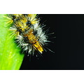 caterpillar hairy white yellow green black macro