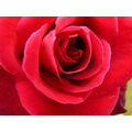Flower Garden Bed Outdoor Rose Red Plant