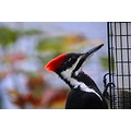 pileated woodpecker feeder Burnaby BC Canada