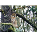 nature bobcat port moody bc canada