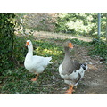 animals ducks nature