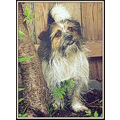 INDY pet Shihtzu mix Pankey dog canine pooch