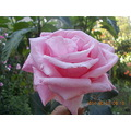 rose for you in garden